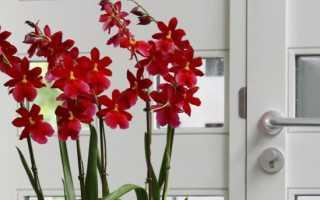 Орхидея Камбрия: делимся секретами выращивания и ухода