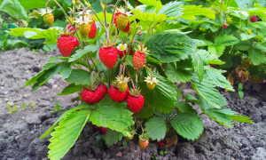 Выращивание земляники: польза, рекомендации по уходу