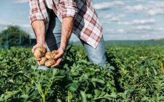 Сбор урожая картофеля на месяц раньше — не сказки!