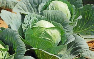 Богатый урожай капусты: рассада и уход за взрослыми растениями