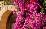 Посадка и уход за бугенвиллией: выращивание и обрезка