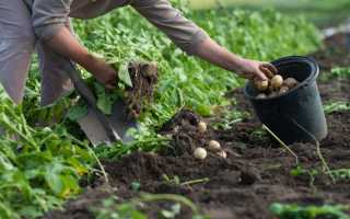 Неприятное явление. Почему урожай картофеля быстро портится?
