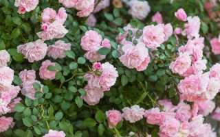 Особенности парковой розы (шиповника): классификация и характеристика видов