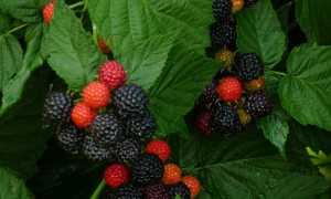 Как правильно ухаживать за ежемалиной: выращиваем своими руками