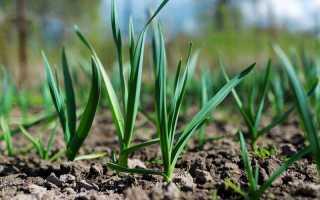 Советы и рекомендации по выращиванию чеснока