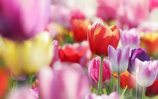 Оформление клумбы из тюльпанов