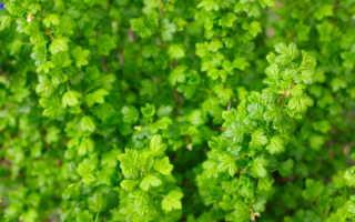 Крыжовник («северный виноград»): самые популярные по вкусовым качествам сорта