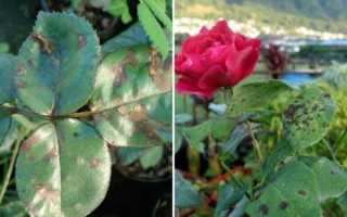 Эффективные средства против черных пятен на листьях розы