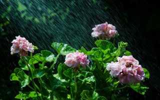 Уход и подкормка, чтобы герань радовала цветением