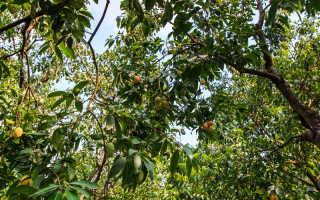 Почему не плодоносит абрикосовое дерево? Основные способы решения проблемы
