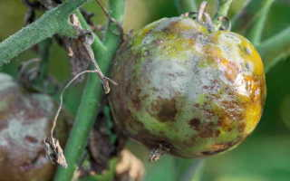 Простые методы лечения фитофторы на томатах