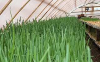 Выращивание лука-выборока в теплице и парнике