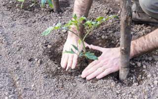 Выращивание томатов по лунному календарю