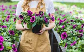 Секреты богатого цветения петуний