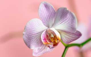 Добейтесь невозможного: как все-таки достичь цветения орхидеи в домашних условиях