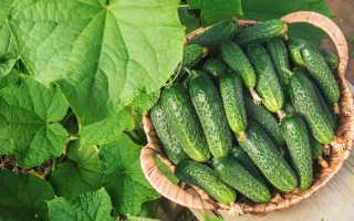 Как выращивать огурцы: полив, подкормка и сбор урожая