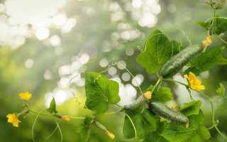 Ложная мучнистая роса – псевдогриб, поражающий огурцы