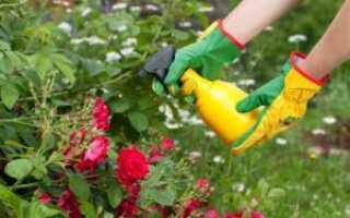 Подкормка роз: влияние удобрений и способы ухода за розами