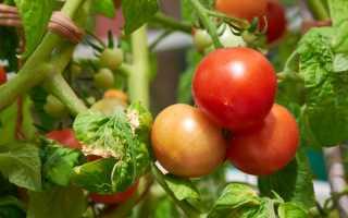 Интересные раннеспелые и стойкие сорта томатов