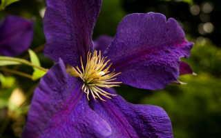 Клематисы — дивное украшение вашего сада
