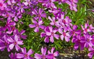 Однолетние растения необычных цветов