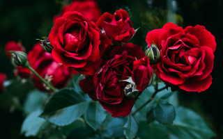 Царица цветов роза: чайно-гибридные и сорт Спрей