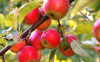 Сорт яблони Конфетное — вкуснее всех конфет