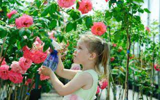 6 лучших сортов роз, которые способны расти в суровых сибирских условиях
