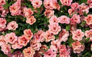 Калибрахоа: выращивание, уход, отличие от петуний