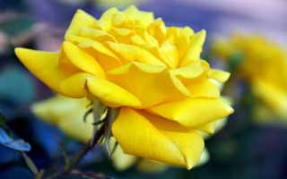 Как правильно пересадить розу