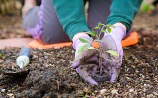Сроки посадки помидоров в теплицу из поликарбоната в Подмосковье