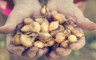 Как правильно выбрать лук-севок и как его хранить