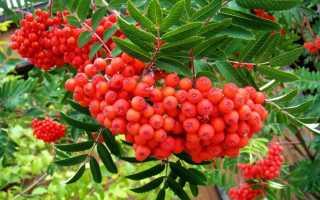 Выращивание рябины: все о сортах, посадке и уходе