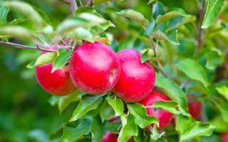 Лучшие сорта яблонь для выращивания на Урале