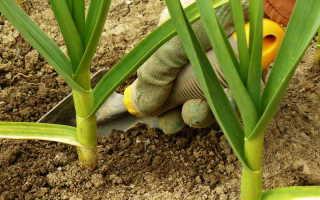Чем и как подкормить чеснок в июне