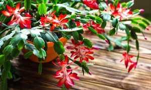 Подкормки для пышного цветения декабриста зимой