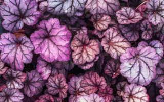 Что нужно знать о растении гейхера