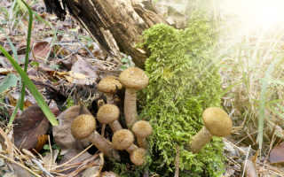 Как отличить съедобные грибы от ядовитых