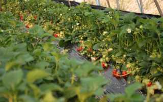 Урожай клубники круглый год? Нет ничего невозможного — рассказываем про выращивание ягод в теплицах