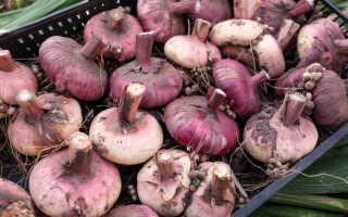 Основные советы по подготовке и хранению гладиолусов