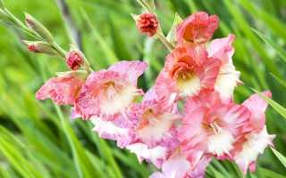 Королева на вашем участке. Как посадить гладиолусы правильно и радоваться красивому цветению