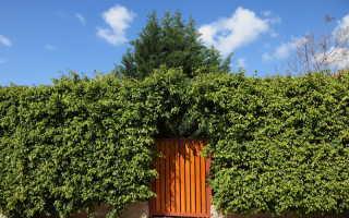 Какие растения лучше подходят для живых изгородей на садовых участках