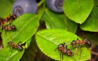 Как эффективно бороться с муравьями при помощи обыкновенного пшена