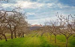 Если абрикосовое дерево не плодоносит: простые способы