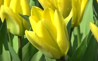 Сажаем неприхотливые и красивые ботанические тюльпаны осенью. Плюс описание сортов, которые выращиваю на своем участке