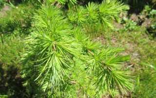 Декоративные свойства лиственницы: описание видов и советы по уходу