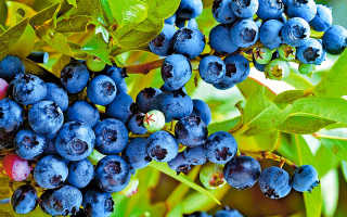 Голубика: свойства, сорта и рекомендации по выращиванию