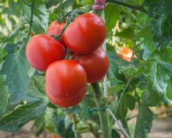 Увеличиваем урожаи огородных культур