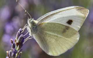 Используем народные средства против бабочки-капустницы