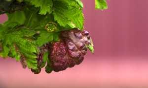 Вздутия на листьях смородины: как предотвратить?
